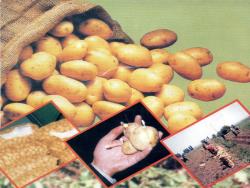 پاورپوینت بررسی نكات مهم در زراعت سیب زمینی